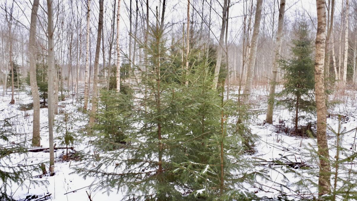 Metsaomanik Sander jõulupuud Metsaühistu