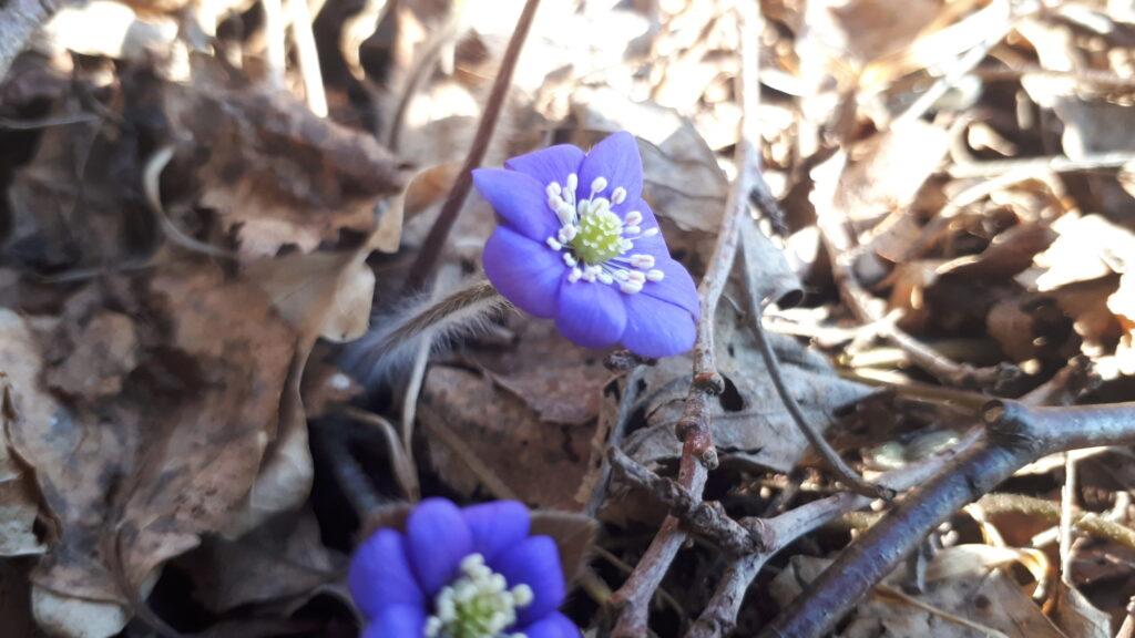 sinilill-kevad-Metsaomanik Sander